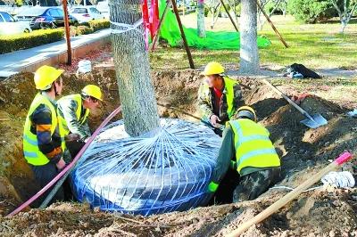 崇明树木迁移,崇明树木迁移价格,崇明树木迁移哪家专业