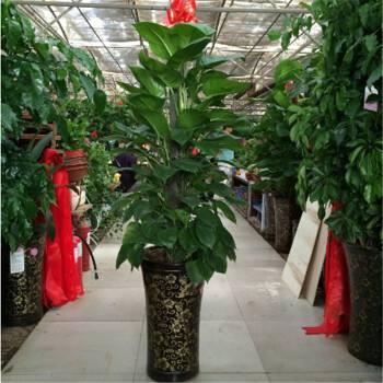 上海花木树零售
